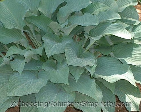 Hosta Krossa Regal mature plant