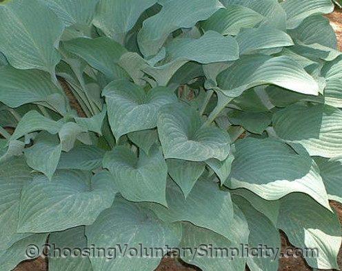 Hosta Krossa Regal mature plant