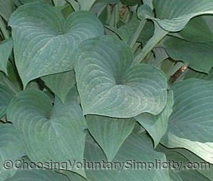 Hosta Krossa Regal's thick, naturally slug-resistant leaves