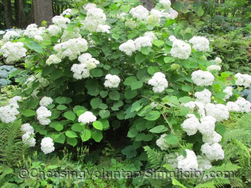 hydrangea bush with white flowers