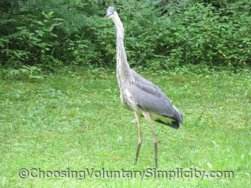 great blue heron stretching neck