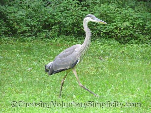 great blue heron running