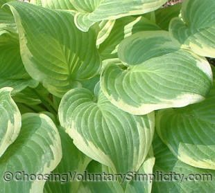 Hosta Shade Fanfare leaves... green centers, creamy margins