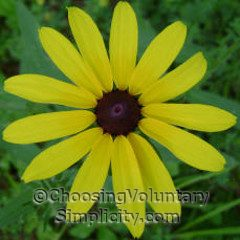 black-eyed susan with broad petals