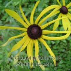 black-eyed susan with narrow petals