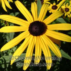 black-eyed susan showing dome center