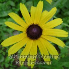 black-eyed susan showing more conical center