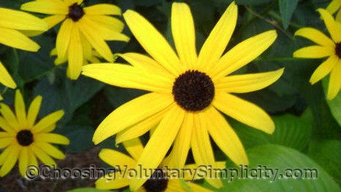 black-eyed susan flowers with different types of petals