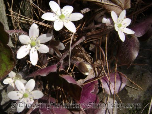 White hepaticas in bloom