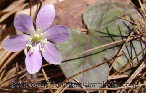 Purple hepatica