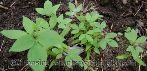 bleeding heart seedlings