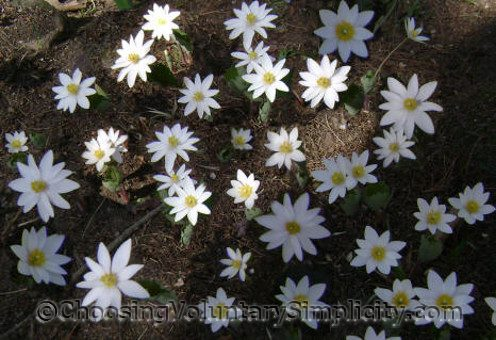 Sanguinaria canadensis (bloodroot flowers)