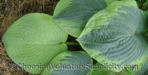another Frances Williams hosta and sport