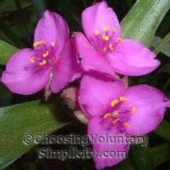 close-up of purple spiderwort blossoms