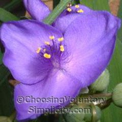 close-up of blue spiderwort blossoms