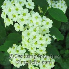 bridal wreath flower clusters