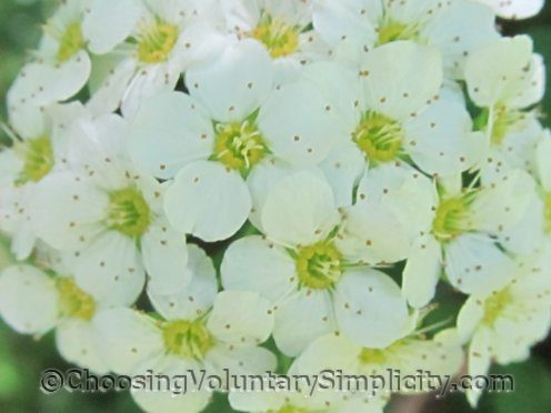 close-up of bridal wreath flower cluster