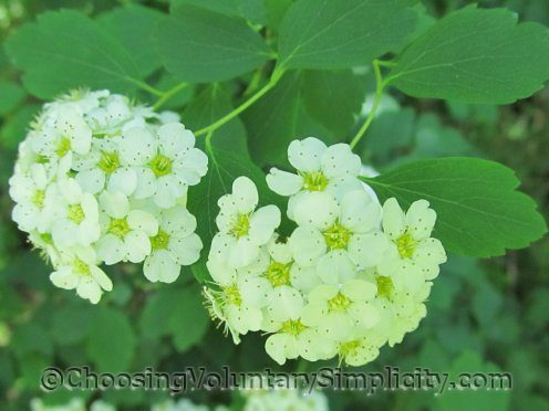 bridal wreath leaves and flower clusters