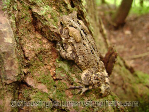 another toad climbing tree