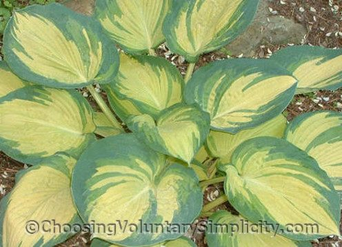 Hosta Great Expectations mature plant