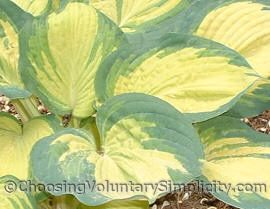 Hosta Great Expectation leaves... yellow centers with irregular wide green margins