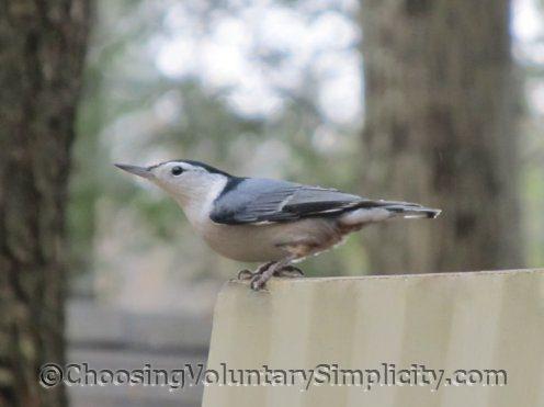 Trepatroncos, Historia de la Vida, Todo sobre los Pájaros - Laboratorio Cornell de Ornitología